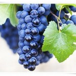 Dark Blue Pinot Noir Grapes